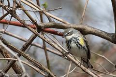 Warbler Invasion #2 (rdroniuk) Tags: birds oiseaux smallbirds yellowrumpedwarbler dendroicacoronata warblers passerines passereaux parulinecroupionjaune parulines sedgewickforest