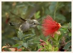 Hummingbird and Fairy Duster (gauchocat) Tags: arizonasonoradesertmuseum tucsonarizona