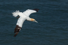 Effortless (Andrew_Leggett) Tags: sea inflight breeze gannet morusbassanus rspbbemptoncliffs andrewleggett