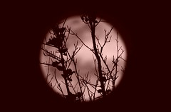 April's Pink Moon (Jim Mullhaupt) Tags: pink light wallpaper sky moon tree silhouette night outside flickr earth background fullmoon april lunar pinkmoon jimmullhaupt