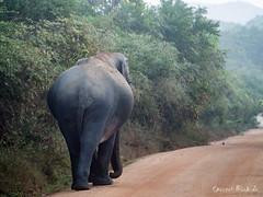 Elephant in Yala (Ineound) Tags: life park wild elephant animal fauna digital four spiegel wildlife super olympus national micro tele srilanka blick omd yala thirds m43 mft 600mm em5 spiegelblick microfourthirds 43 mzuiko spiegelblickde spiegelblickde mzuiko75300 75300mmf4867 mzuiko75300mmf4867 mzuiko75300f4867 75300mm 14867 mzd75300f4867