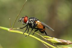TachinidaeGymnosoma6-8403 (improsara) Tags: macro shot insects single insekten insetti macrophotography macrofotografia d700 scattosingolo invertitore macro2016 28mmanello 28mminverter