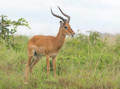 Impala (Wouter's Wildlife Photography) Tags: nature animal mammal wildlife safari impala nairobinationalpark aepycerosmelampus