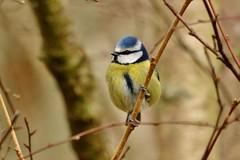 a little blue tit............. (Suzie Noble) Tags: tree garden branch tit bluetit gardenbird strathglass struy
