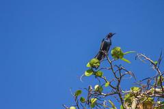 American Crow (rmehdee) Tags: blue wild tree bird day florida top wildlife bluesky minimal american crow minimalism raven minimalistic blackbird minimalist min skyblue avis treetop americancrow