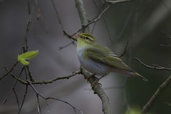 Wood Warbler (cooky1959) Tags: male staffordshire woodwarbler highgatecommon
