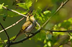 listen, it's spring (w-venne) Tags: bird spring wald vogel frhling woodwarbler phylloscopussibilatrix singvogel waldlaubsnger nsgschluchtenundmooreamoberenfurlbach