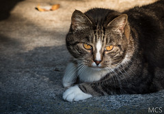 IMG_1269-2 (SomeExtraCandid) Tags: portrait animals cat