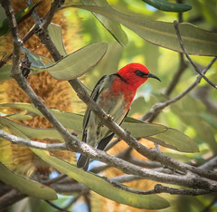 Scarlet Honeyeater (Myzomela sanguinolenta) (peter.carlsen) Tags: red queensland honeyeater australianbirds australianwildlife birdlife honeyeaters petercarlsen sigma150500mmoshsm nikond7100