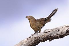 a pheasant coucal (non-breeding) (Fat Burns  (gone bush)) Tags: bird nature fauna pheasant feathers cuckoo australianbird barcaldine australianfauna centropusphasianinus pheasantcoucal lagooncreek nikond750 sigma150600mmf563dgoshsmsports sigmateleconvtc1401nik