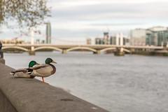 Posh Birds... (HotSnapshot) Tags: bridge bird london tower birds thames canon river duck chelsea bokeh bridges ducks rivers 5d canon5d mallard riverthames embankment mallards chelseabridge londonist 2470mm londontown chelseaembankment stgeorgeswharf londonbylondoners stgeorgestower bokehlicious swlondon londonnature canon5dmarkiii 5d3 canon5dmark3 2470mmf28ii canon2470mmf28iil