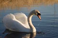 Evening Light (Mac ind g) Tags: bird walking scotland spring swan reservoir muteswan cygnusolor eastrenfrewshire neilston lintmilldam