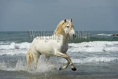 40080596 (wolfgangkaehler) Tags: ocean sea horses horse white france beach water animal french europe mediterranean european running behavior stallion camargue southernfrance galloping 2016 camarguehorses