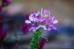Cleome (Fly Sandman) Tags: pink summer white flower spiderplant cleome spiderflower spiderweed