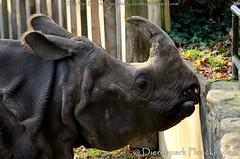 Indische Neushoorn - Rhinoceros unicornis - Indian rhinoceros (MrTDiddy) Tags: female mammal indian rhino johanna rhinoceros planckendael neushoorn indische vrouwelijk zoogdier unicornis dierenparkplanckendael