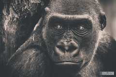 Gorilla (Paavo Jean) Tags: portrait animal canon germany deutschland zoo gesicht gorilla explore bse schwarz mnster affe weis menschenaffe canoneos7d