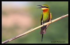 Blue Tailed Bee Eater (Jawad_Ahmad) Tags: pakistan nature beautiful beauty photography natural wildlife flicker naturephotography naturelover sialkot jawads