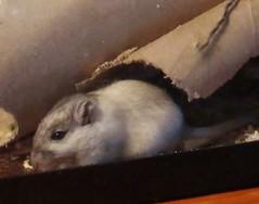 IMG_5640 Crumpet (therovingeye) Tags: pets gerbil smallanimals gerbilhabitat