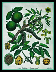 Radierung 26, Walnuss (Juglans regia) (LOMO56) Tags: kunst walnuss radierung juglansregia radierungen walnussjuglansregia kunsttechniken pflanzendarstellungen