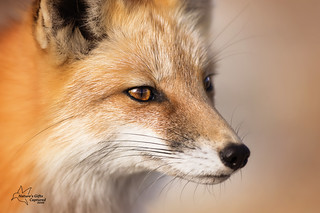 Vixen - Close_Up
