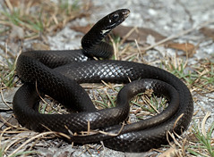 Southern Black Racer (Coluber constrictor priapus) (cowyeow) Tags: usa black nature america keys island florida reptile snake wildlife snakes herp floridakeys herps priapus racer herpetology coluber constrictor blackracer blacksnake coluberconstrictor herping coluberconstrictorpriapus