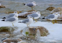 Icy Gulls (imageClear) Tags: winter seagulls cold aperture flickr wildlife gulls lakeshore february icy photostream 80400mm d600 imageclear