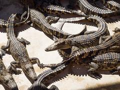 P1092350 (tatsuya.fukata) Tags: elephant thailand crocodile samutprakan crocodilefarm
