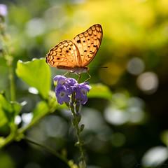 Le papillon damier (zambaville) Tags: macro fleur jaune canon eos is 5 ds papillon r 100 mm usm marron ef proxy flore duranta f28l damier flaune ef100mm orange lesquelin 5dsr