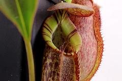 Nepenthes spathulata x spactabilis (?) (andy.denker) Tags: nepenthes carnivoren kannenpflanze spathulata spactabilis