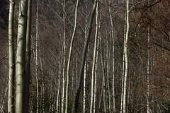 (bulbocode909) Tags: nature suisse hiver arbres valais troncs