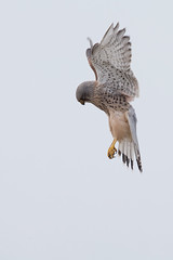 Kestrel (Andy Davis Photography) Tags: male bird canon hunting flight raptor falcon kestrel hover falcotinnunculus