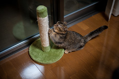 Elisa/Playtime (Nazra Zahri) Tags: brown home japan female cat 50mm evening nikon kitten raw indoors munchkin okayama scratching scratchingpost 2016 50mmf14d d700