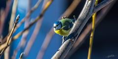 Looking into the distance (Steve P Photography) Tags: winter sun color bird animal austria tirol nikon europe wildlife 300mm 70300mm bluetit innsbruck tier vogel 168 meise dx blaumeise 70300