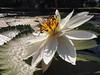 White Lotus Flower Blossom Phanom Rung Buriram Isaan Thailand © (hn.) Tags: copyright flower thailand flora asia asien heiconeumeyer seasia soasien southeastasia südostasien waterlily lotus waterlilies rung blume blüte northeast isaan buriram phanomrung isan copyrighted seerose esan issan lotusflower nymphaeaceae aquaticplant lotos lotusblossom esarn phanom northeastthailand isarn lotusblüte wasserpflanze prasat nordost nordosten issarn lotosblume seerosengewächse phanomrunghistoricalpark nordostthailand prasathinkhaophanomrung buriramprovince aquaticherbs lotosblossom upcountrythailand provincialthailand tp201516 chanwatburiram hinkhaophanomrung