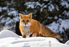 In the snow (JD~PHOTOGRAPHY) Tags: wild nature animal animals mammal wildlife fox wildanimals redfox inthewild femalefox