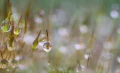 moss with raindrops (bugman11) Tags: macro nature water rain canon droplets moss drops flora bokeh nederland thenetherlands drop droplet 1001nights autofocus 100mm28lmacro 1001nightsmagiccity infinitexposure