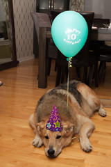 Buster's 10th birthday 6 (Atrum Lupus) Tags: birthday dog chien mutt mix 10 ballon balloon ten buster fte germanshepherd anniversaire dix 10ans bergerallemand crois