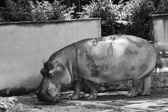 Hippo at the Sorocaba Zoo (marcelo_valente) Tags: blackandwhite monochrome zoo fuji fujifilm sorocaba hipopotamo zoologico hippopotamos xe2 fujifilmxe2 xc50230mm