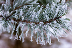 Soft Rime and Fir Neeldes (Deep Space Ocean) Tags: ocean trees winter sea white mist snow cold tree ice soft frost needle fir rime needles leaning