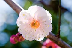 Japanese Apricot (Plum Blossom) :  (Dakiny) Tags: pink winter flower macro tree japan yokohama february kanagawa 2016
