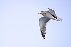 Seagull Sailing in the Air (Johnnie Shene Photography(Thanks, 1Million+ Views)) Tags: winter light wild people motion colour macro bird nature horizontal canon lens photography eos rebel spread daylight flying interesting wings focus kiss day sailing slow view angle natural bright image zoom outdoor no wildlife seagull gull side low birding flight sigma tranquility scene apo full western midair limbs soaring flapping awe 70300mm length viewpoint effect flap freshness dg lari stationary foreground t3i x5 laridae  fragility 600d f456
