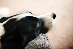 Scott; Again.  Explored 04-02-2016. (-Metal-M1KE-) Tags: dog zeiss canon 50mm collie canine explore zeisslens explored zeissplanart1450mmze canon5dsr 5dsr