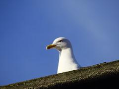 (omersad) Tags: birds gull sony moda cybershot istanbul sonyphotography dschx100v