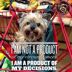 I decide to be owned by a Yorkie (itsayorkielife) Tags: yorkie quote yorkshireterrier yorkiememe
