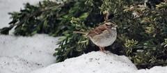 White-throated sparrow (puckish) Tags: bird sparrow whitethroatedsparrow virginiastatearboretum