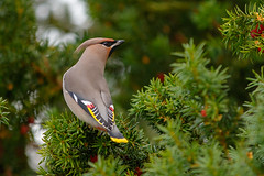 Bohemian Waxwing (tods_photo) Tags: green bird nature beautiful beauty birds norway canon berries wildlife sigma feed migration kapp toten bombycillagarrulus bohemianwaxwing sidensvans 500px ifttt