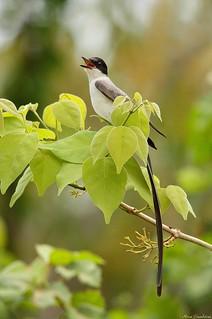Tesourinha | Fork-tailed Flycatcher (Tyrannus savana)