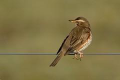 Riverside Redwing. (stonefaction) Tags: park nature birds scotland riverside dundee wildlife redwing