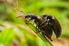 Long-jointed beetle: Lagria villosa (elisa_vg) Tags: nature animal bug beetle inseto arthropoda coleoptera vaquinha besouro idiamin tenebrionidae tenebrionoidea lagriinae cantárida élitro papapimenta potógrande potópimenta capichabinha