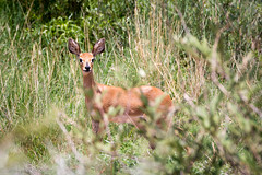 The Baby (Dean Packer) Tags: southafrica drive safari gamereserve pilanesburg